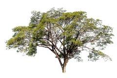 在白色背景,截去的paht的大树 免版税库存照片