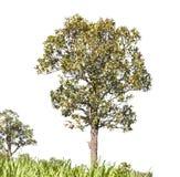 在白色背景,截去的paht的树 免版税库存照片