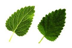 在白色背景,板料的顶面和底下边隔绝的蜜蜂花两片绿色叶子 免版税库存图片