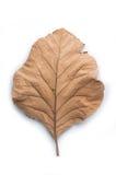 在白色背景,柚木树的干燥叶子离开 免版税库存图片