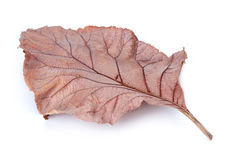 在白色背景,柚木树的干燥叶子离开 库存照片