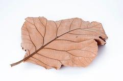 在白色背景,柚木树的干燥叶子离开 免版税库存照片