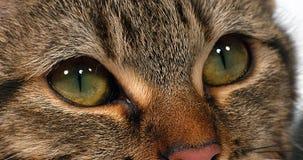 在白色背景,眼睛特写镜头的布朗平纹家猫, 股票视频