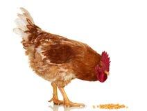 在白色背景,被隔绝的对象,活鸡,一个特写镜头牲口的雄鸡 免版税库存照片