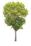 在白色背景,裁减路线的大树孤立 免版税库存图片