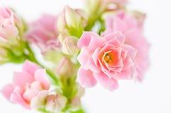 在白色背景, Kalanchoe blossfeldiana的桃红色花 图库摄影