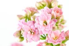 在白色背景, Kalanchoe blossfeldiana的桃红色花 库存照片