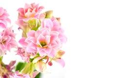 在白色背景, Kalanchoe blossfeldiana的桃红色花 库存图片