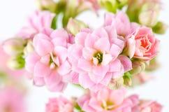在白色背景, Kalanchoe blossfeldiana的桃红色花 免版税图库摄影