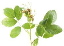在白色背景从狗玫瑰或罗莎canina的未成熟的绿色野玫瑰果隔绝的 免版税图库摄影