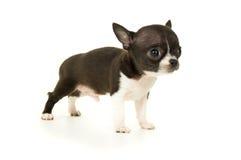 在白色背景绝缘的美丽的小的奇瓦瓦狗 免版税库存图片