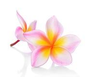 在白色背景(羽毛)隔绝的热带花赤素馨花 免版税图库摄影