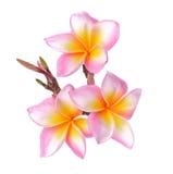 在白色背景(羽毛)隔绝的热带花赤素馨花 免版税库存照片