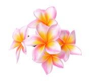 在白色背景(羽毛)隔绝的热带花赤素馨花 库存图片