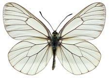 被隔绝的黑成脉络的白色蝴蝶 库存图片