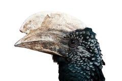 在白色背景(Bycanistes腓骨)隔绝的银色cheeked犀鸟 库存图片