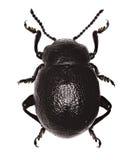 在白色背景- Timarcha蒙大拿的血淋淋被引导的甲虫 库存图片