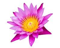 在白色背景lilly隔绝的紫色水 库存照片