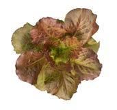 在白色背景moonred水耕的菜植物顶视图隔绝的有机红色莴苣,道路 免版税库存图片