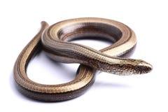 在白色脆弱类)隔绝的Slowworm (Anguis的女性 免版税库存图片