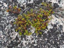 在白色花岗岩岩石的绿色和红色多汁植物 库存照片