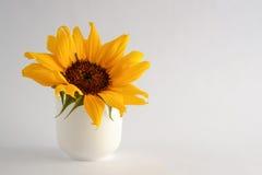 在白色花瓶的向日葵开花 免版税库存照片