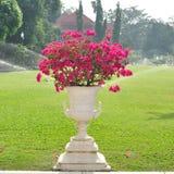 在白色花盆的美丽的九重葛 图库摄影