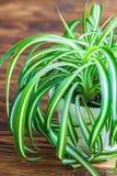 在白色花盆的Chlorophytum在木背景 罐的/Variegatum, comosum园林植物 吊兰 图库摄影