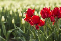 在白色荷兰郁金香的红色 库存照片