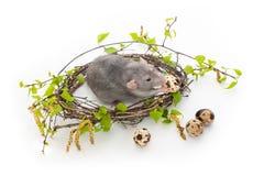 在白色被隔绝的背景的逗人喜爱的鼠 桦树分支巢  在巢旁边是鹌鹑蛋 宠物,啮齿目动物 r 库存图片