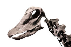 在白色被隔绝的背景的梁龙骨骼 免版税库存照片