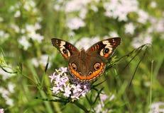 在白色野花的共同的七叶树蝴蝶 免版税库存图片