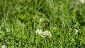 在白色野花的美丽的小土蜂在豪华的晴朗的夏天绿叶 股票视频