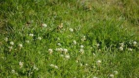在白色野花的美丽的小土蜂在豪华的晴朗的夏天绿叶 股票录像