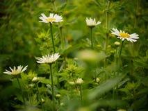 在白色野花的雨珠 免版税图库摄影