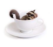 在白色陶瓷杯子的逗人喜爱的sugarglider 库存照片