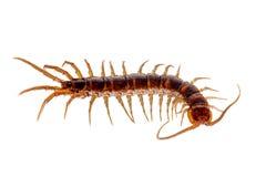 在白色隔绝的一条红褐色的蜈蚣的特写镜头 库存照片