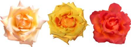 在白色隔绝的三玫瑰色绽放 免版税库存照片