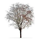 在白色隔绝的不生叶的树照片 免版税库存图片