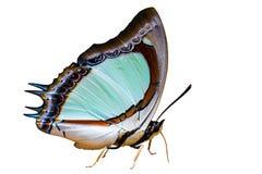 在白色隔绝的印地安黄色nawab蝴蝶 库存图片