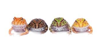 在白色隔绝的四只chachoan有角的青蛙 库存照片