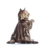 在白色隔绝的嬉戏的虎斑猫小猫背面图  库存图片