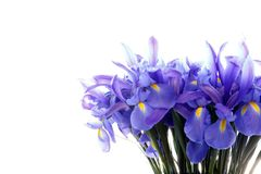 在白色隔绝的小组紫色虹膜花 免版税库存照片