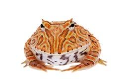在白色隔绝的幻想有角的青蛙 免版税库存图片