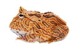 在白色隔绝的幻想有角的青蛙 免版税图库摄影