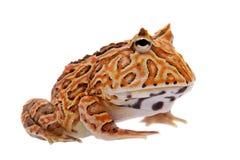 在白色隔绝的幻想有角的青蛙 免版税库存照片