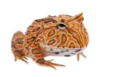 在白色隔绝的幻想有角的青蛙 库存图片