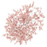 在白色隔绝的开花的桃树顶视图  免版税库存图片
