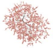在白色隔绝的开花的桃树顶视图  免版税图库摄影