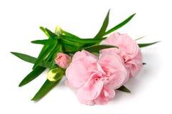在白色隔绝的新鲜的桃红色康乃馨花 免版税库存照片